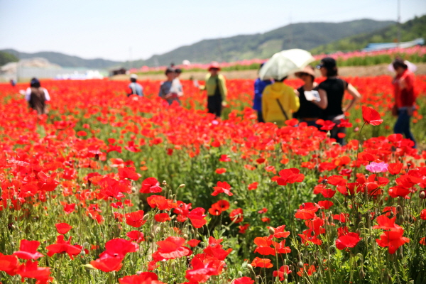 제5회 꽃양귀비 축제